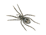 Forest Wolf Spider (Gladicosa Gulosa)  Arachnids