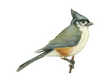 Tufted Titmouse (Parus Bicolor)  Birds