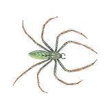 Green Lynx Spider (Peucetia Viridans)  Arachnids