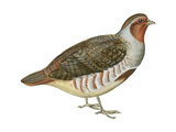 Hungarian Partridge (Perdix Perdix)  Birds