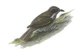 Philippine Creeper (Rhabdornis Inornatus)  Birds