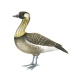 Hawaiian Goose (Branta Sandvicensis)  Nene  Birds