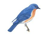 Eastern Bluebird (Sialia Sialis)  Birds