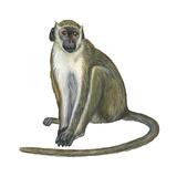 Green Monkey (Cercopithecus Sabaeus)  Mammals