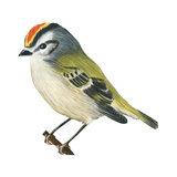 Golden-Crowned Kinglet (Regulus Satrapa)  Birds