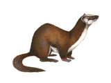 Long-Tailed Weasel (Mustela Frenata)  Mammals