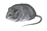 Desert Dormouse (Selevinia Betpakdalaensis)  Selevin's Mouse  Mammals