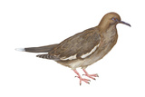 White-Winged Dove (Melopelia Asiatica)  Birds