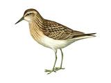 Least Sandpiper (Calidris Minutilla)  Birds