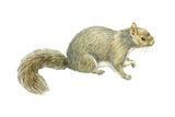 Gray Squirrel (Sciurus Carolinensis)  Mammals
