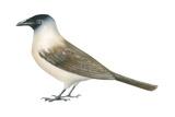 Jackdaw (Corvus Monedula)  Birds
