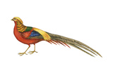 Golden Pheasant (Chrysolophus Pictus)  Birds