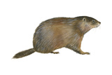 European Marmot (Marmota Marmota)  Mammals