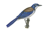California Scrub Jay (Aphelocoma Californica)  Birds