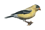 American Goldfinch (Carduelis Tristis)  Birds