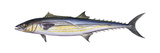 King Mackerel (Scomberomorus Cavalla)  Fishes