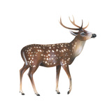 Axis Deer (Cervus Axis)  Mammals