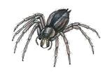 Grass Spider (Agelenopsis)  Arachnids
