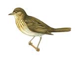 Olive-Backed Thrush (Catharus Ustulatus)  Birds