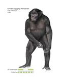 Male Bonobo or Pygmy Chimpanzee (Pan Paniscus)  Ape  Mammals