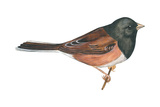 Oregon Junco (Junco Hyemalis Oreganus)  Birds