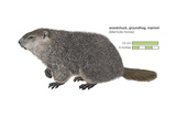 Marmot (Marmota Monax)  Groundhog  Woodchuck  Mammals