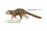 Spotted-Tailed Native Cat (Dasyurus Maculatus)  Tiger Cat  Marsupial  Mammals