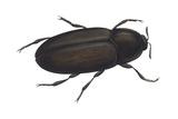 Black Carpet Beetle (Attagenus Unicolor)  Insects