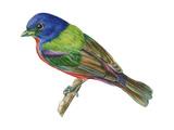 Painted Bunting (Passerina Ciris)  Birds