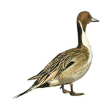 Northern Pintail (Anas Acuta)  Duck  Birds