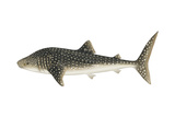 Whale Shark (Rhincodon Typus)  Fishes