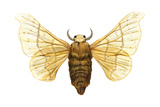 Silkworm Moth (Bombyx Mori)  Chinese Silkworm  Insects