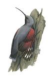 Wall Creeper (Tichodroma Muraria)  Birds