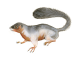 Prevost's Squirrel (Callosciurus Prevosti)  Tricolored  Squirrel  Mammals