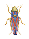Red-Banded Leafhopper (Graphocephala Coccinea)  Insects