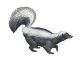 Striped Skunk (Mephitis Mephitis)  Mammals