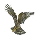 Marsh Hawk (Circus Cyaneus)  Birds