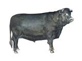 Beef Cattle (Bos Taurus)  Mammals