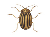 Colorado Potato Beetle (Leptinotarsa Decemlineata)  Insects