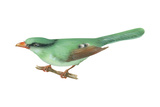 Green Magpie (Cissa Chinensis)  Birds