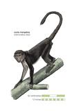 Sooty Mangabey (Cercocebus Atys)  Monkey  Mammals