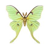 Luna Moth (Actias Luna)  Insects