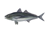 Jack Mackerel (Trachurus Symmetricus)  Fishes