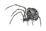 American House Spider (Parasteatoda Tepidariorum)  Arachnids