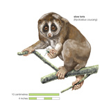 Slow Loris (Nycticebus Coucang)  Primate  Mammals
