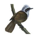White-Crested Laughing Thrush (Garrulax Leucolophus)  Birds