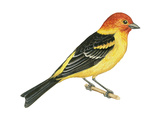 Western Tanager (Piranga Ludoviciana)  Birds