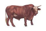 Braford Bull  Beef Cattle  Mammals