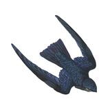Swiftlet (Collocalia)  Birds
