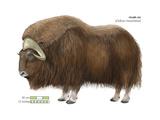 Musk-Ox (Obivos Moschatus)  Mammals